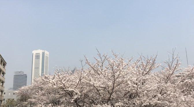 せせらぎの桜